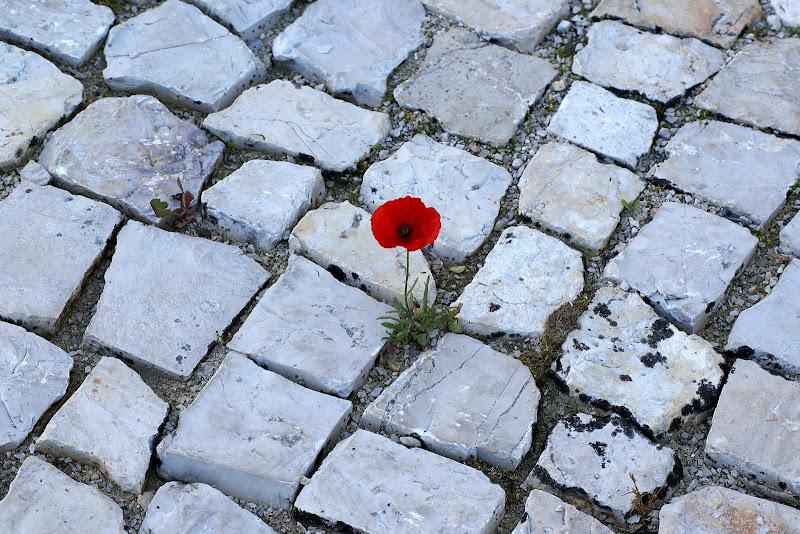 Papoila nas pedras da calçada