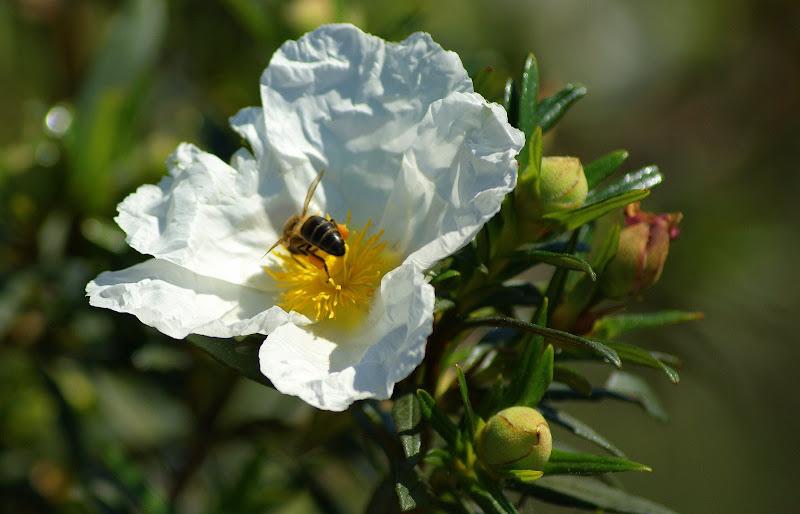 Flores silvestres da Arrábida