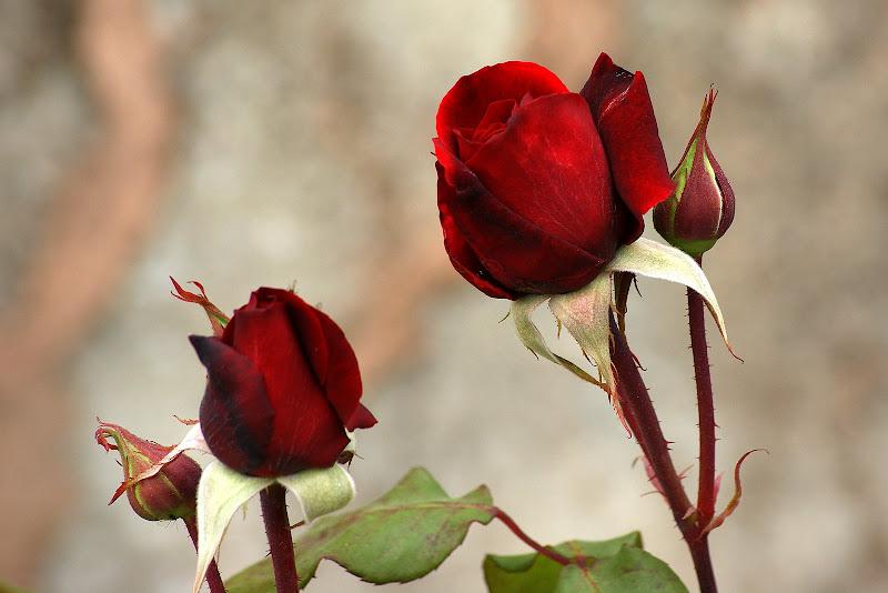 Rosas da Primavera