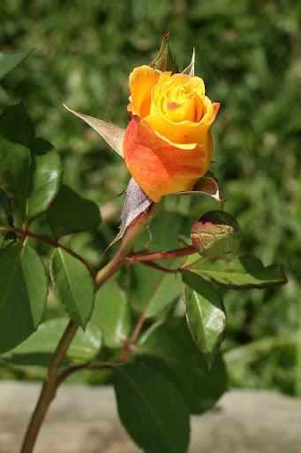 Uma rosa para as mães