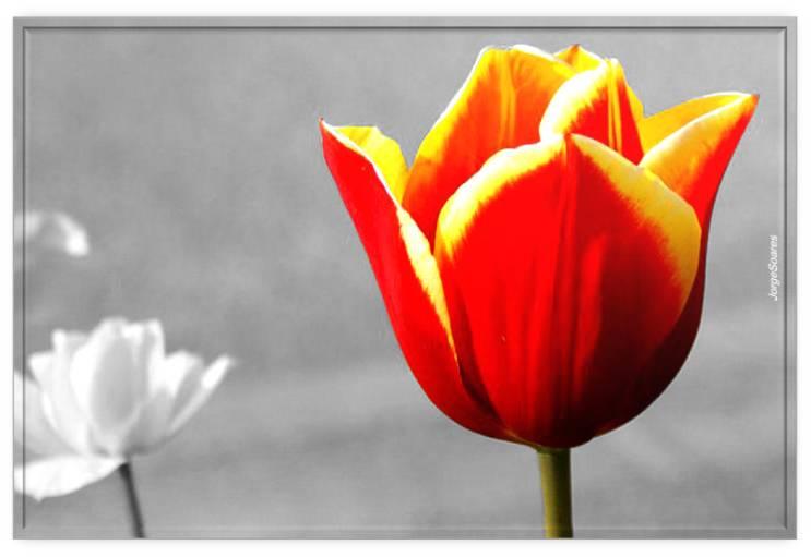Uma tulipa da Irlanda