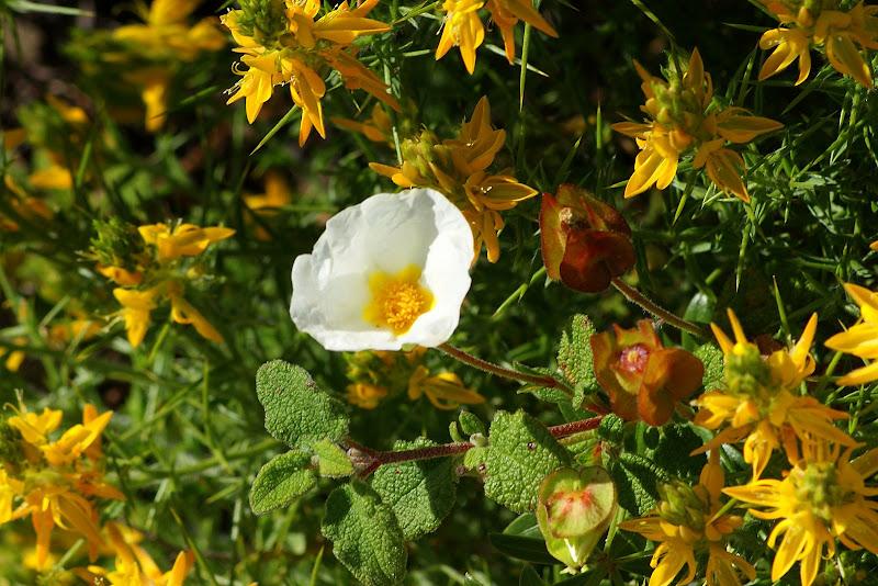 Flor de esteva, florees silvestres do Algarve