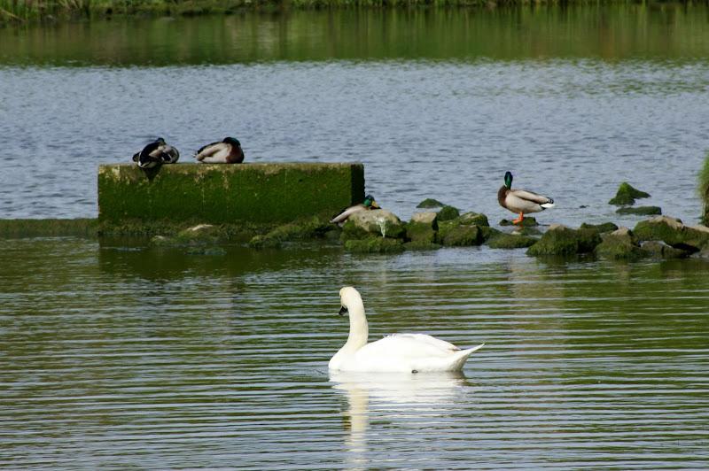 O lago, os cisnes e os patos