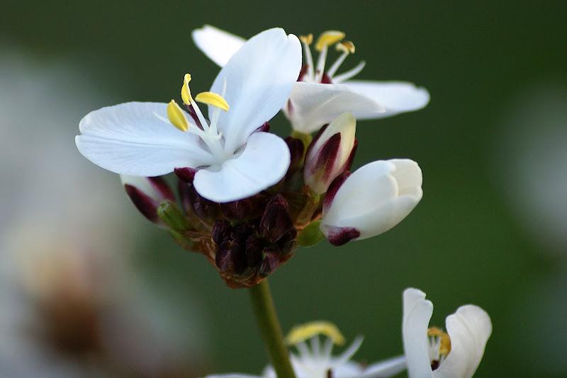 Flores da Irlanda, Branco