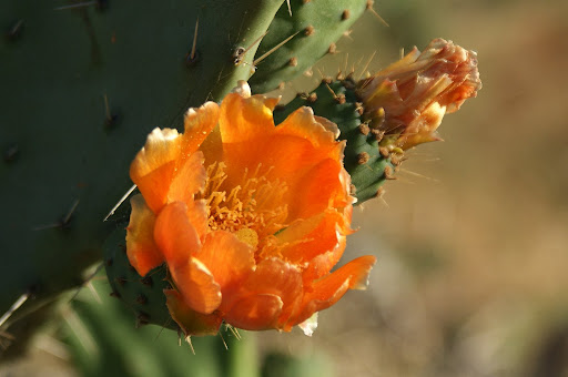 Flor de catus