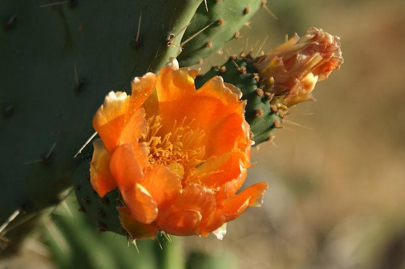 Flor de cacto em Setúbal