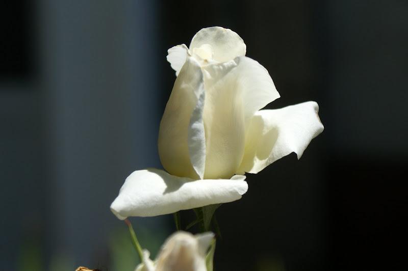 Rosa Banca