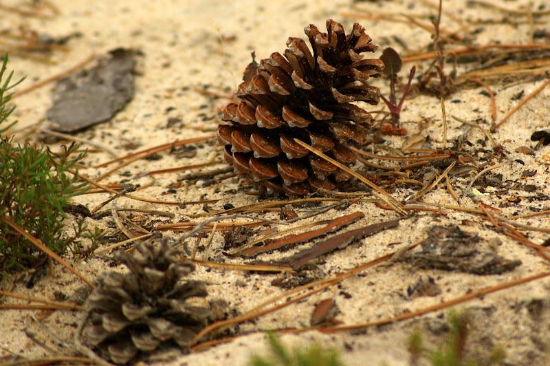 Uma pinha na areia