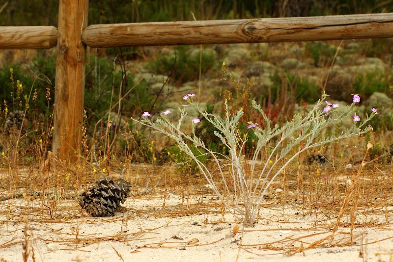 Pinhas nas dunas