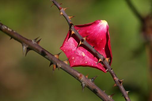 Quando uma rosa morre