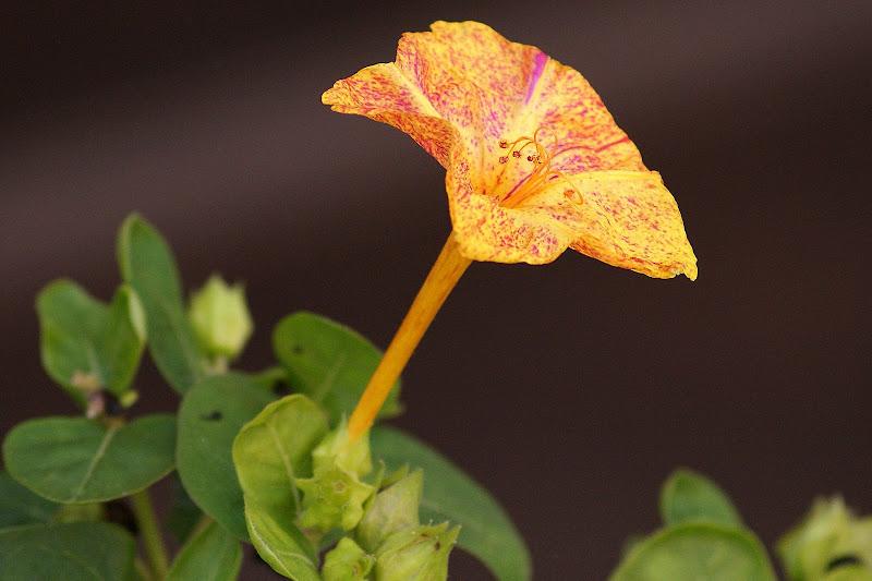 Cores das flores:Laranja