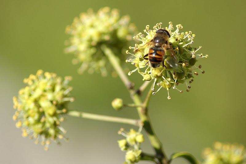 A abelha na flor da hera