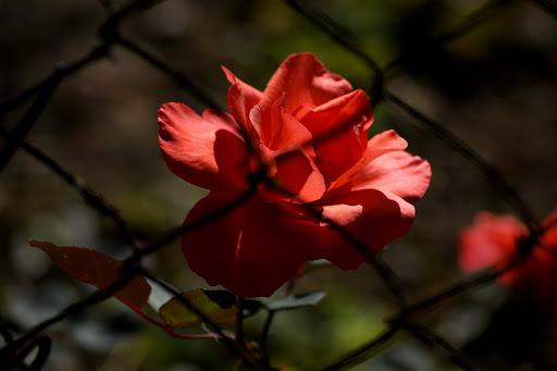 Rosa por detrás da rede