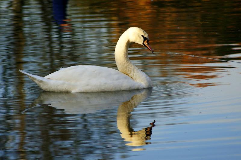 Cisne no Bonfim