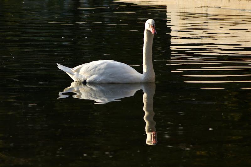 Cisne no Jardim do Bonfim