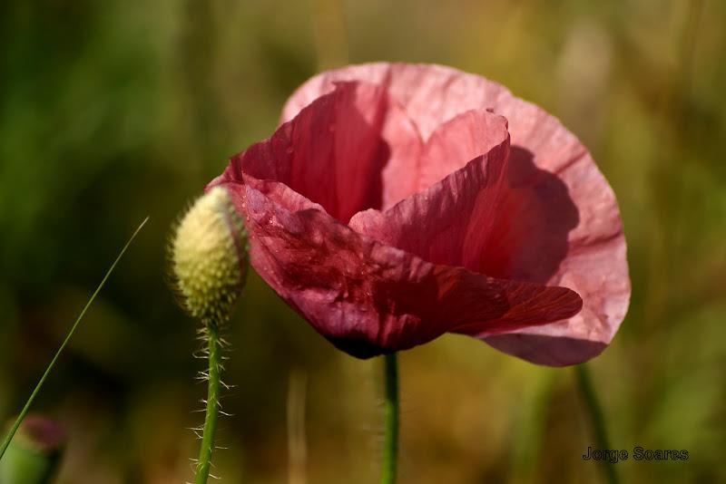 Papoila cor de rosa suave