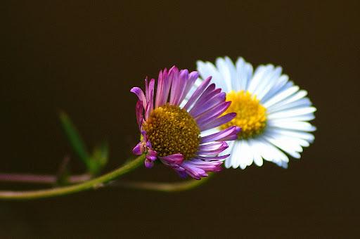 Flores silvestres da minha infância