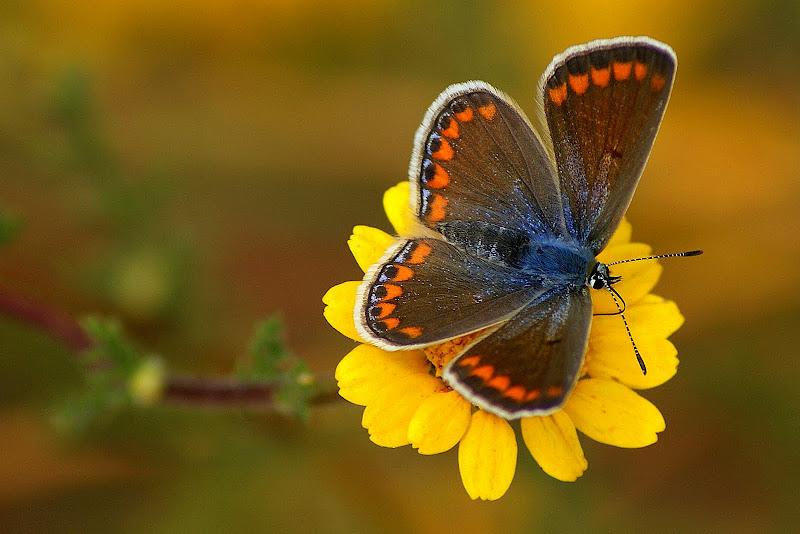 A borboleta no malmequer