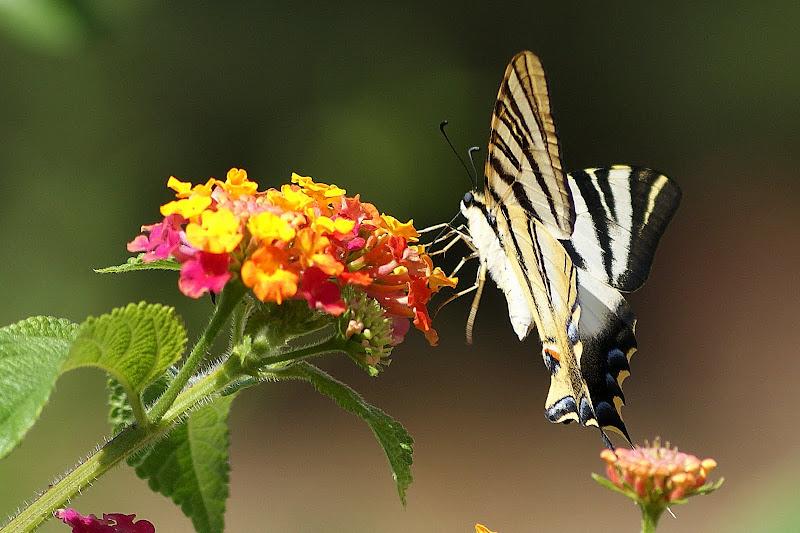 Borboleta Zebra