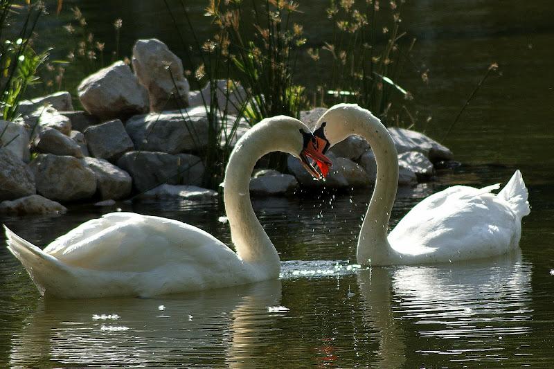 cisnes, momentos de ternura no bonfim