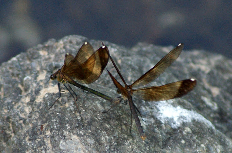 A dança das libelinhas