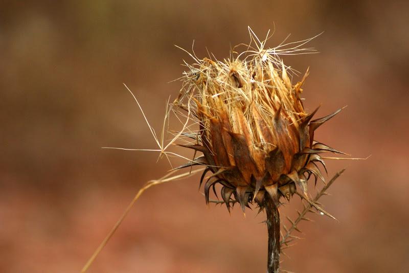 Cardos secos, na serra do Louro
