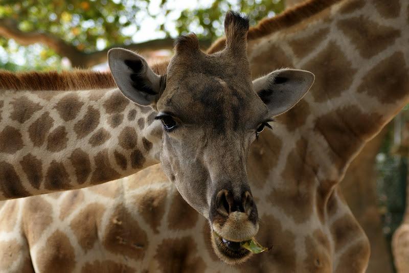 Girafa, Zoo de Lisboa