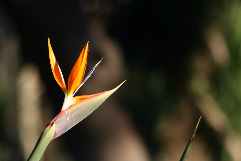 Strelitzia reginae: a ave-do-paraíso