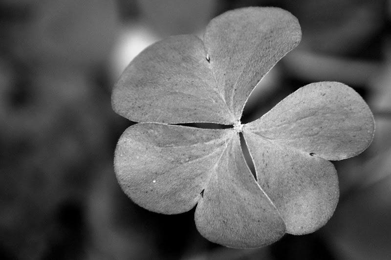 Trevo de 3 folhas