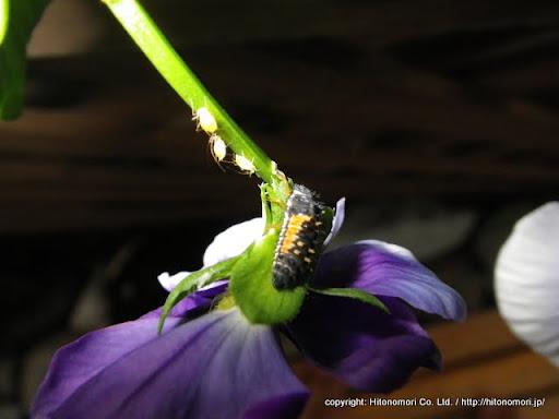 アブラムシとテントウムシの幼虫
