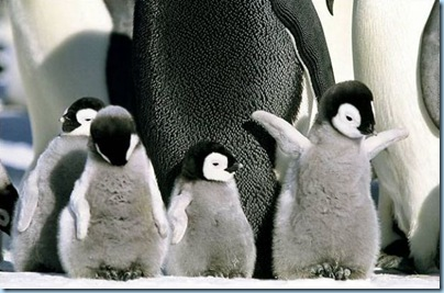 Baby penguins by Tone