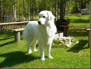 Perfekt hund for alpakkahold