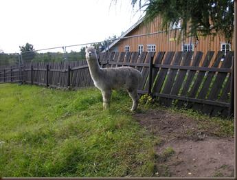 alpacas day one 035