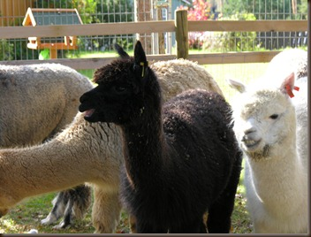 alpacas day one 062