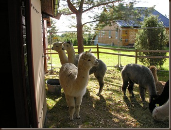 alpacas day one 080