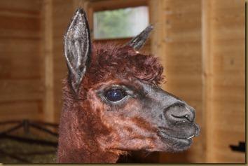 Wayra er fortsatt den vakre matriarken i flokken