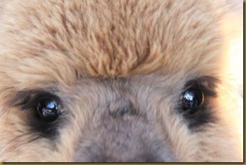 Alpakka: Feisty Bandit, til salgs