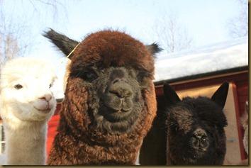 Alpakka: Paris Pavlova, skjønnhet