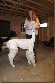 Alpakka: NC Prince Braveheart after shearing/after klipping