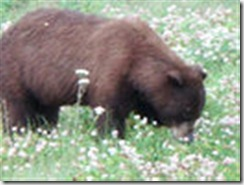 Bear-picking-daisies (Small)