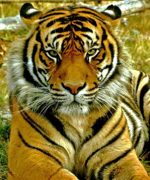 The Indonesian Sumatran Tiger in Pictures...
