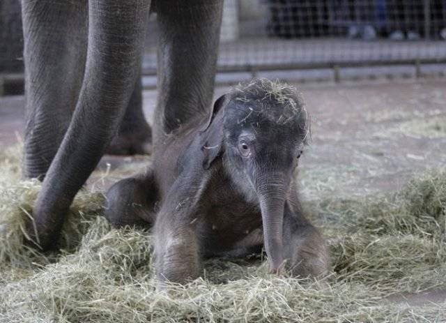 A Very Cute Elephant's Calf