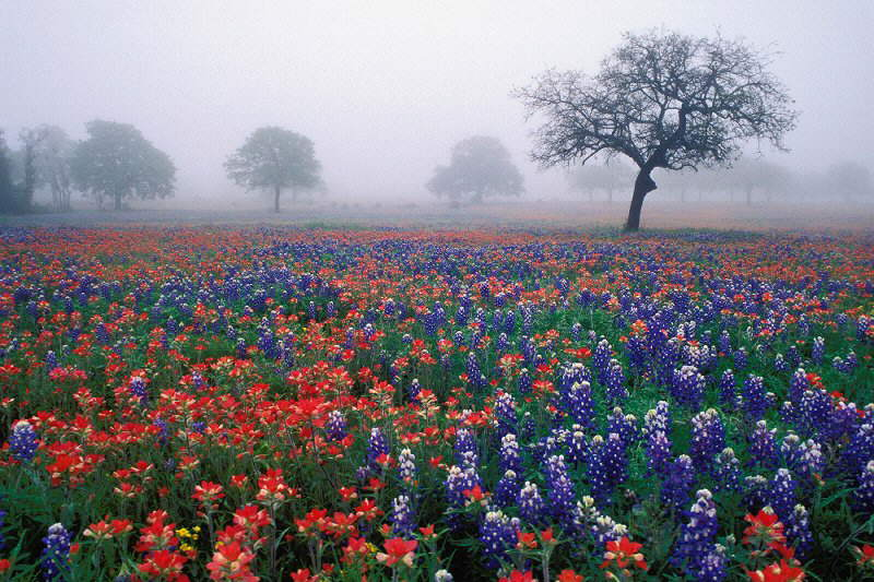 Texas in bloom - Bluebonnets