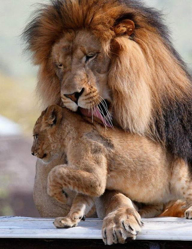 Sweet Lion love: A Lioness with her cub