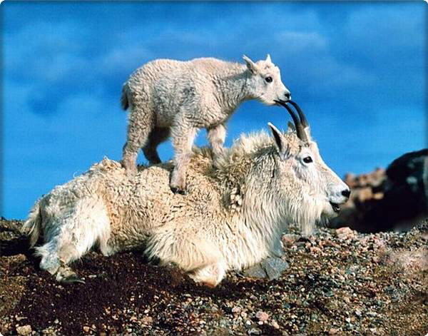 These Mountain Goats can Scale Even the Most Vertical Rock Faces