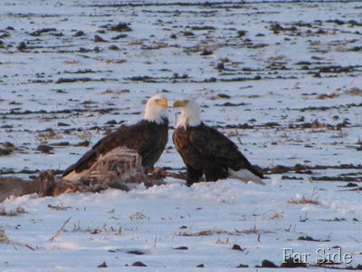Close up of the eagles Nov 28