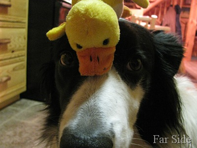 Chance and the duck closeup