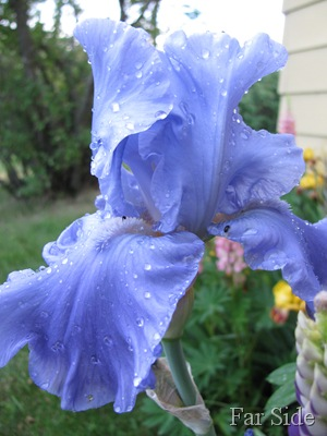 Barbs iris