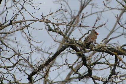A Female Cardinal