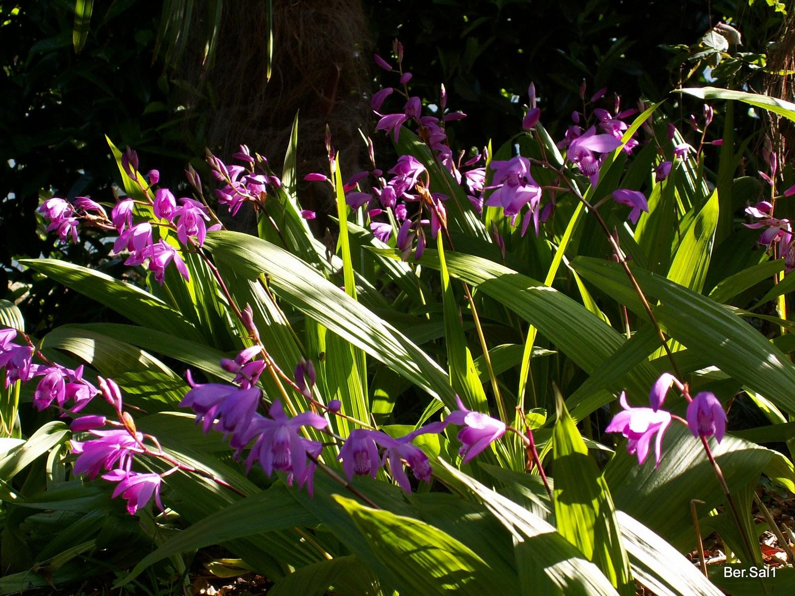 orchidées B - bersal1